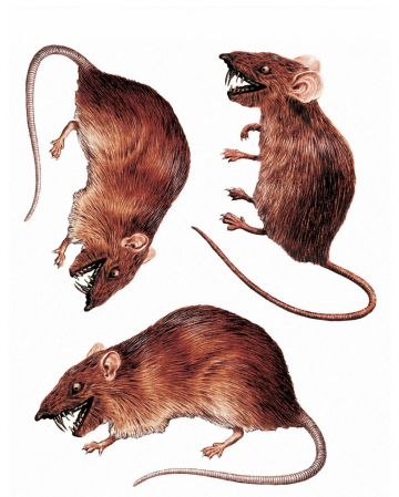 3D Rats Window Sticker